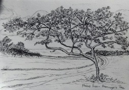 flame tree, pen & ink, Anna Citrino