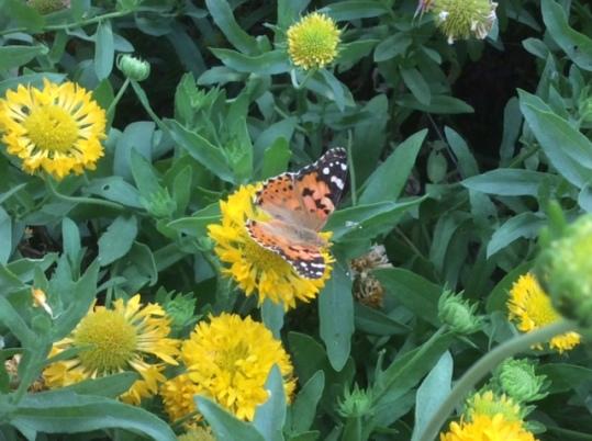Butterfly and yellow garden, Delhi