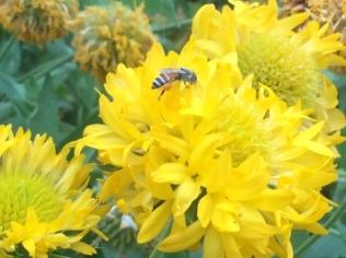 Bee on flower, Delhi