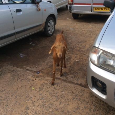 Goat among the cars, Puri