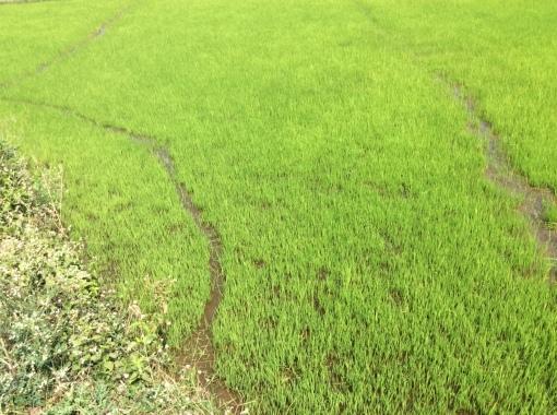 Rice field, Hampi