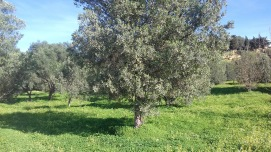 Olive tree in Agrigento, Sicily
