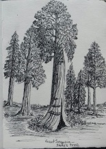 giant sequoia, pen & ink: Anna Citrino