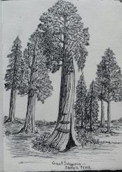 giant sequoia, CA pen & ink: Anna Citrino