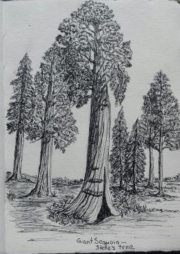 giant sequoia, pen & ink: Anna Citrino