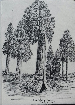 giant sequoia, CA pen & ink: Anna Citrino