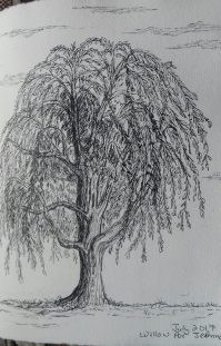 willow, pen & ink, Anna Citrino