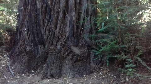 Foot of Great White Redwood, Byrne-Milliron forest, Santa Cruz,CA