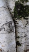 Birch trees, UK