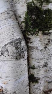 Birch trees, UK