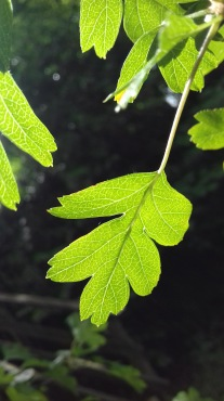 Leaf, Lake District, UK