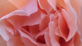 Regents Park rose garden rose