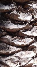 Palm tree bark, Croatia