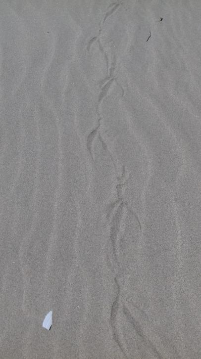 Bird tracks, Oregon coast near Reedsport