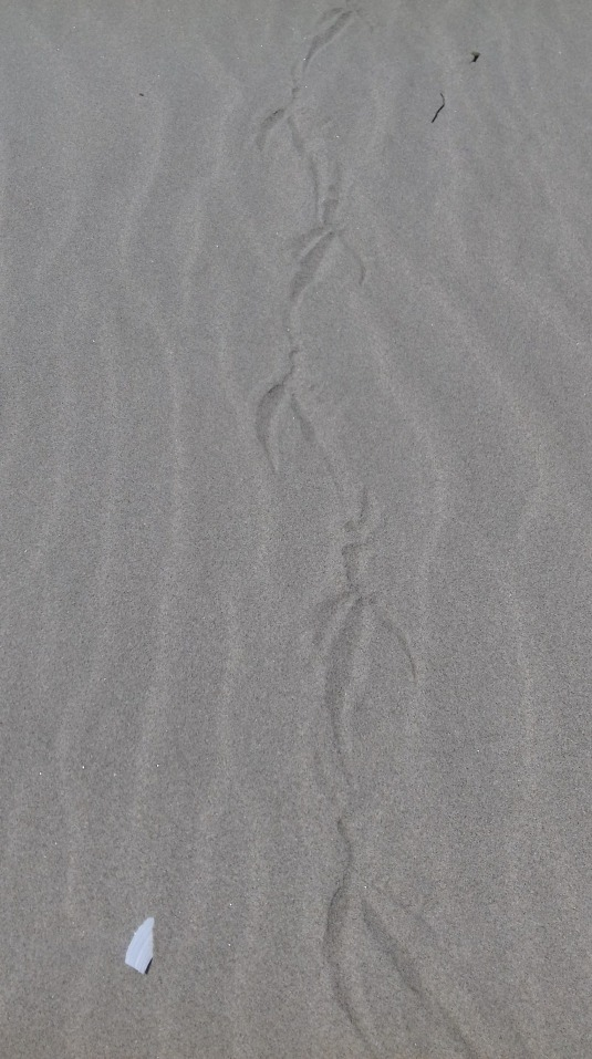 Bird tracks, Oregon coast near Reedsport