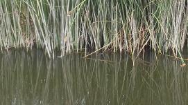 Reeds, Neary's Lagoon, Santa Cruz, CA