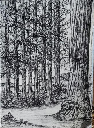 redwoods, pen & ink, Anna Citrino