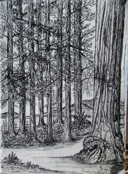 redwoods, pen & ink, Anna Citrino