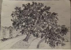 Gary Oak, pen & ink, Anna Citrino