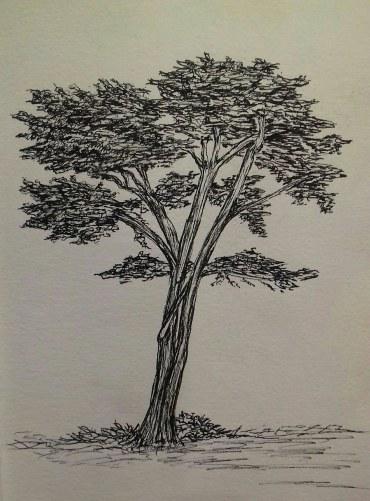 Cypress, Cayucos, California, pen & ink, 2017 Anna Citrino