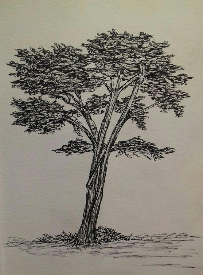 Cypress, Cayucos, California, pen & ink, Anna Citrino