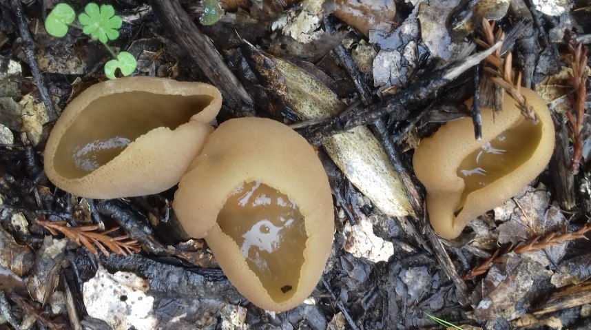 Cup mushroom, also known as Pezizaceae