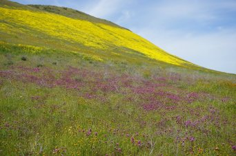 Carrizo Plain yellow and pink